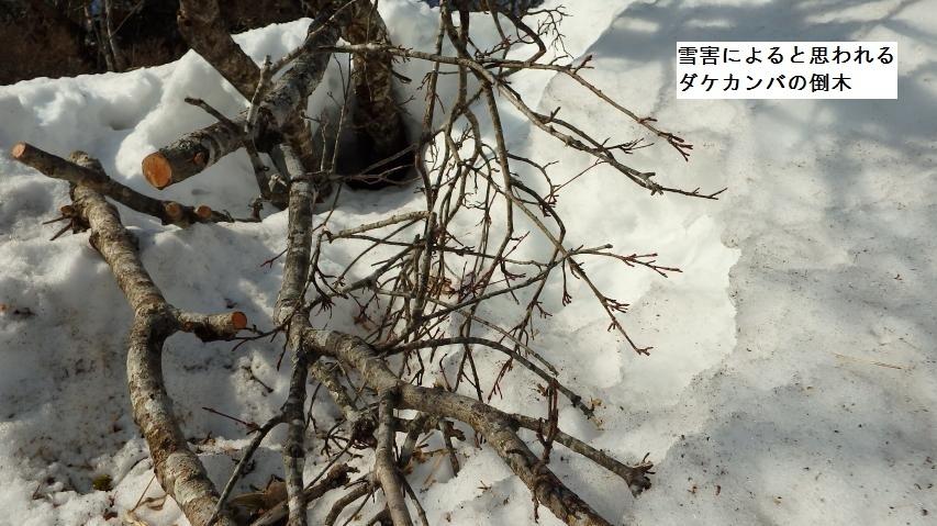 ダケカンバの倒木