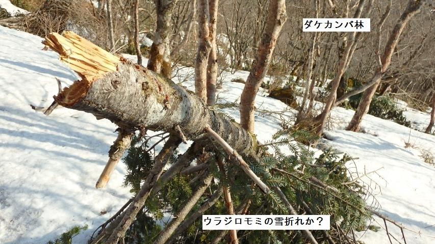 ウラジロモミの雪折れ?