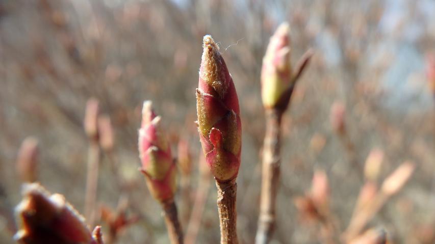 ツルギミツバツツジの花芽