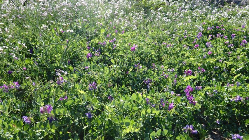 ハマエンドウとハマダイコンのお花畑