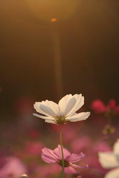 2009-10-18 万博自然文化園 018 妖精の時間‥と‥空間。 コスモス (センセーション) その5 400×600