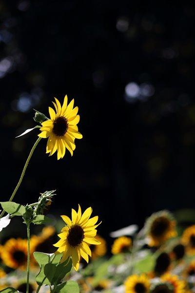 09, 2016-08-21 万博自然文化園 050 ひまわり サンリッチオレンジ その4。 Sunflower 400×600