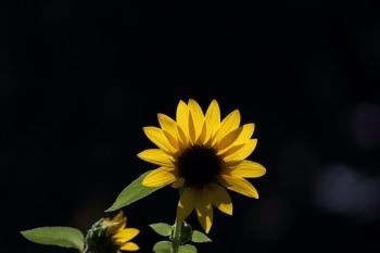 10, 2016-08-21 万博自然文化園 051 ひまわり サンリッチオレンジ その5。 Sunflower 600×400