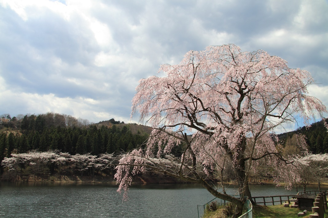 森林公園の桜①