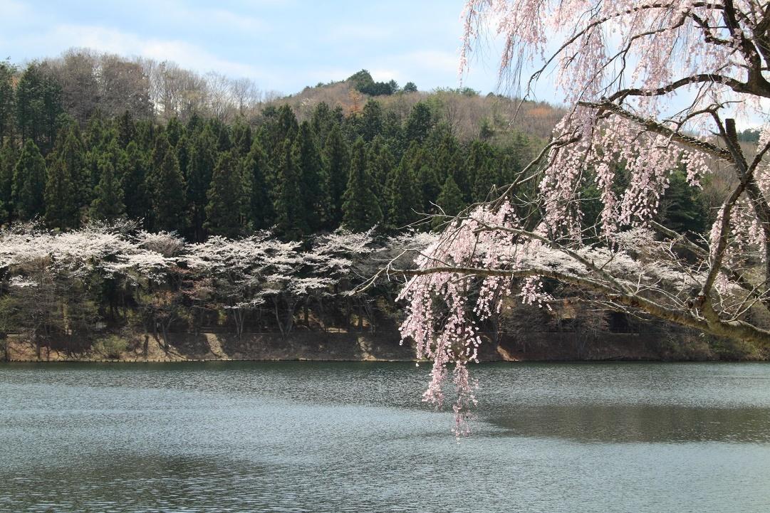 森林公園の桜④