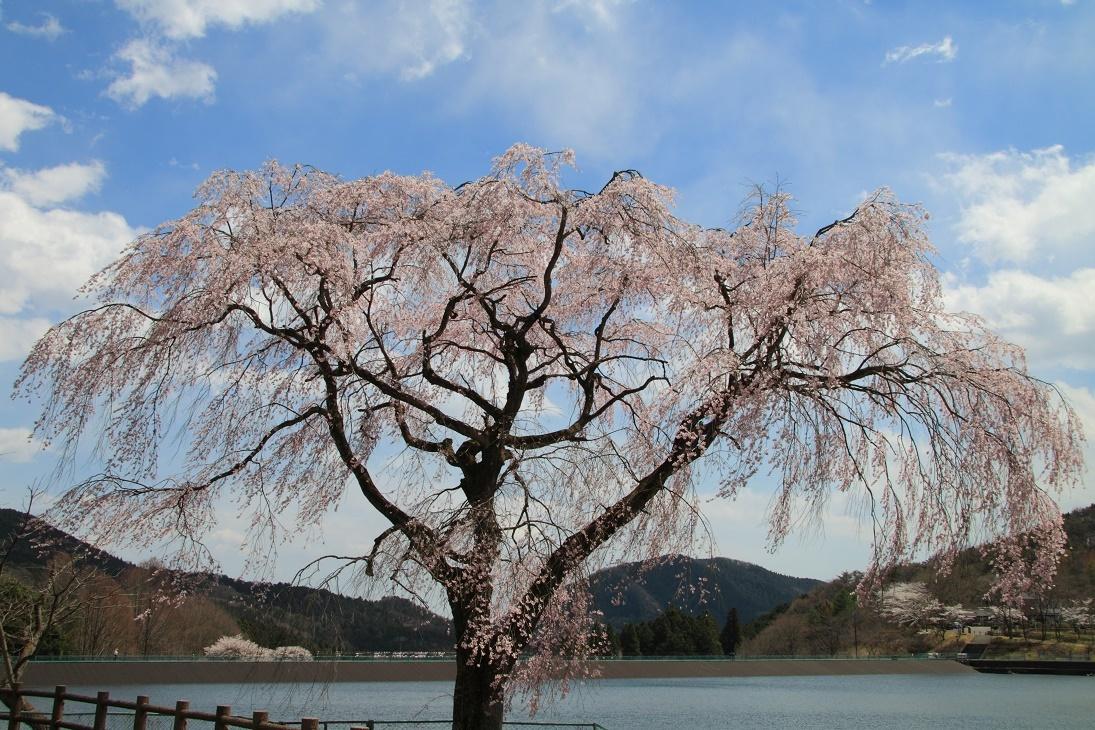 森林公園の桜⑥