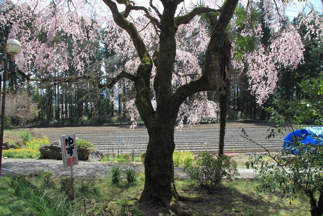 道路ぎわの枝垂桜①
