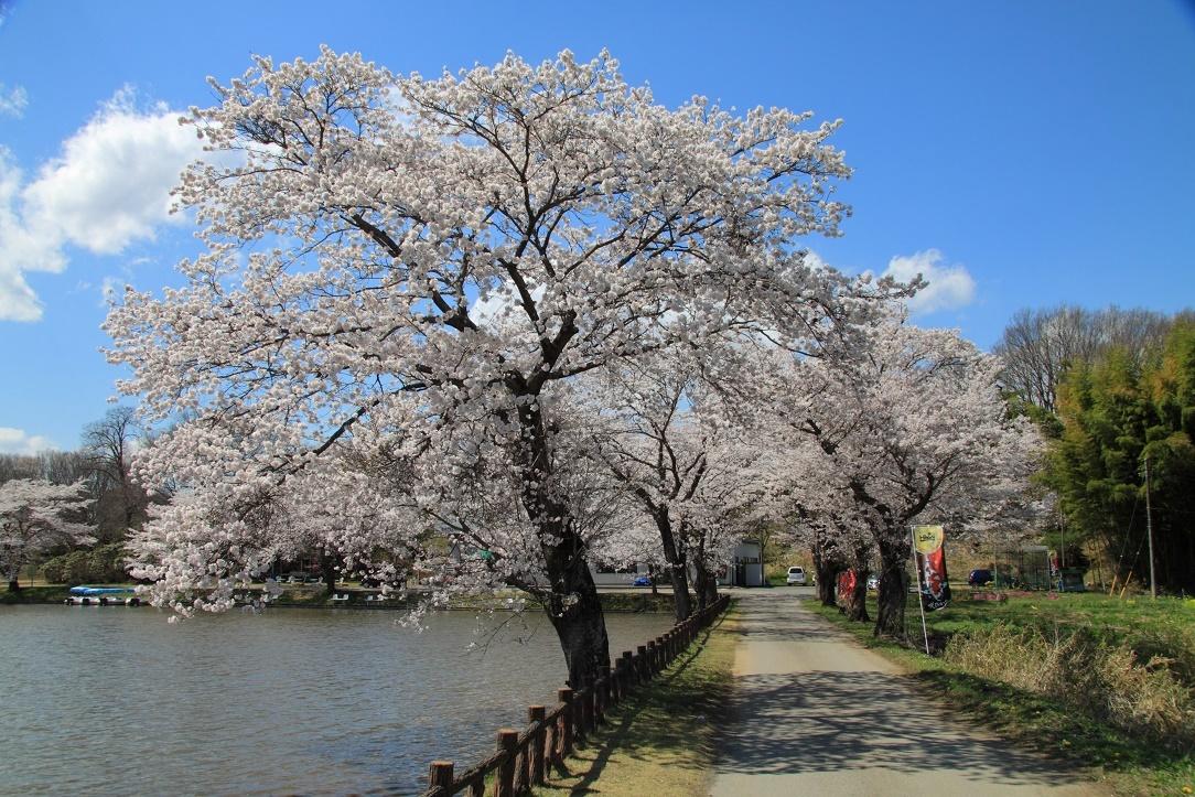 鹿沼錦鯉公園の桜①
