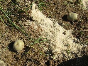 ジャガイモ施肥、無施肥 (6)