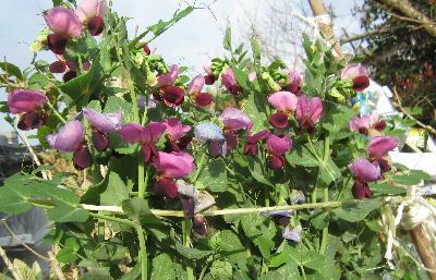 エンドウの花 (1)
