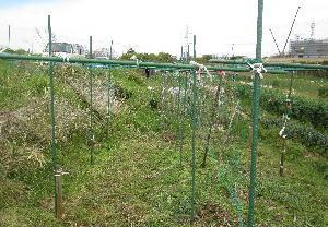 ハヤトウリ定植 (2)