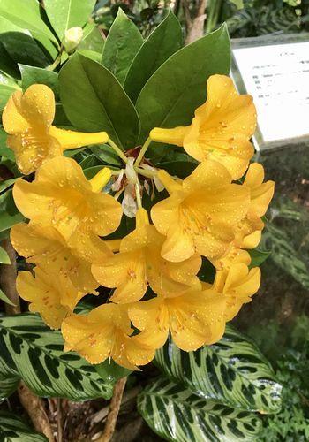 2,8赤塚植物園-15温室マレ―シアシャクナゲ