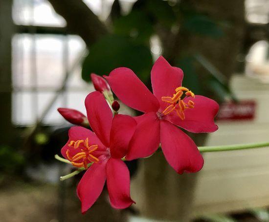 2,8赤塚植物園-16温室テイキンザクラ