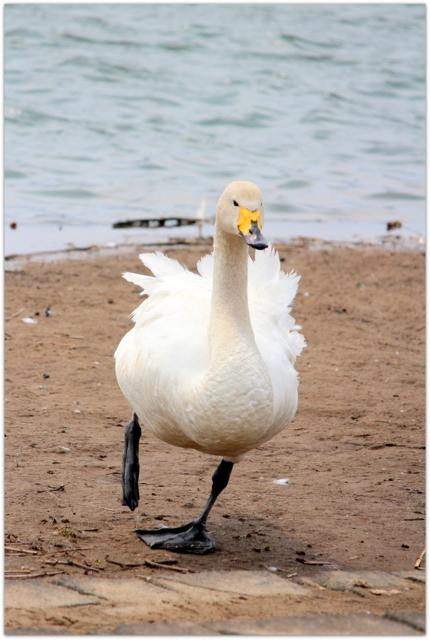 青森県 藤崎町 平川 白鳥 鳥 野鳥 写真