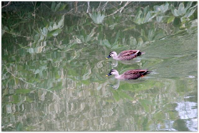 青森県 弘前市 弘前城 弘前公園 カルガモ 野鳥 鳥 写真 観光