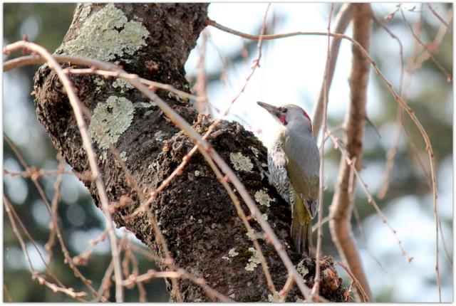 青森県 弘前市 弘前公園 弘前城 観光 写真 アオゲラ 野鳥