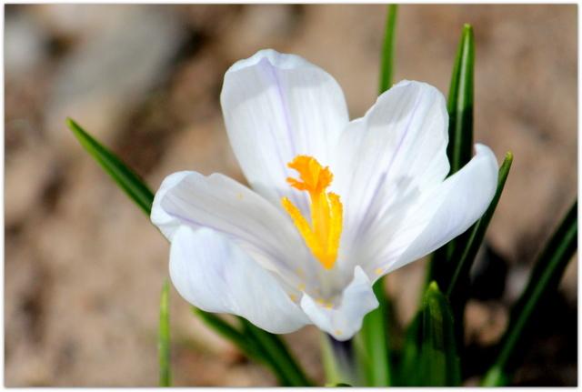 青森県 弘前市 弘前公園 弘前城 弘前城植物園 花 クロッカス 写真 観光