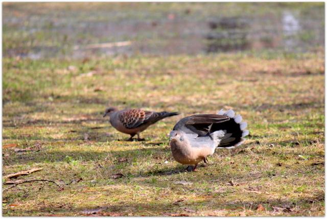 青森県 弘前市 弘前公園 弘前城 弘前城植物園 写真 観光 野鳥 鳥 キジバト 雉鳩
