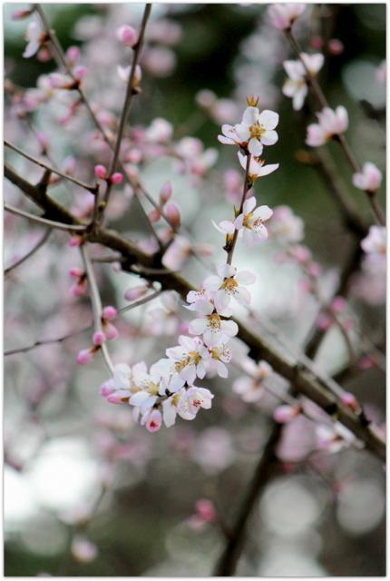 青森県 弘前市 弘前公園 弘前城 弘前城植物園 写真 観光 野鳥 ロトウザクラ 花 ノモモ