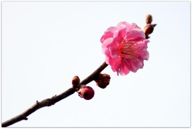 青森県 弘前市 弘前公園 弘前城 弘前城植物園 写真 観光 花 梅