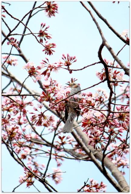 青森県 弘前市 弘前公園 さくらまつり 弘前城植物園 観光 写真 ヒヨドリ