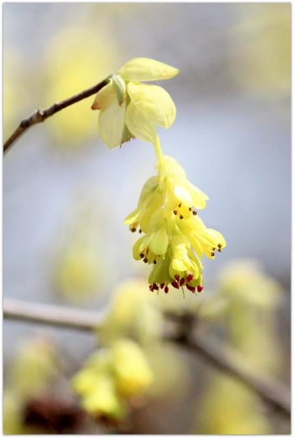 青森県 弘前市 弘前公園 さくらまつり 弘前城植物園 観光 写真 トサミズキ