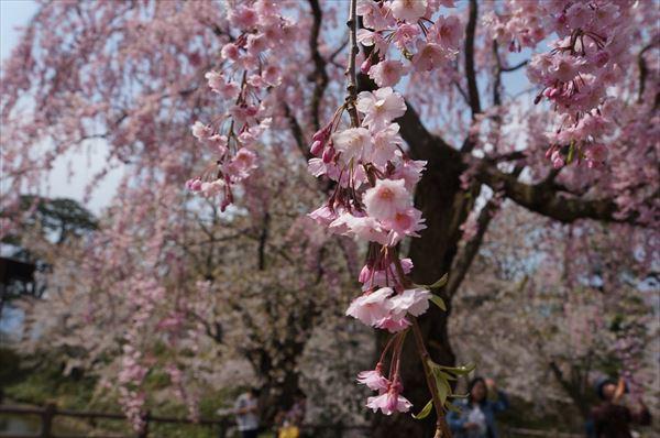 天守近くの枝垂桜