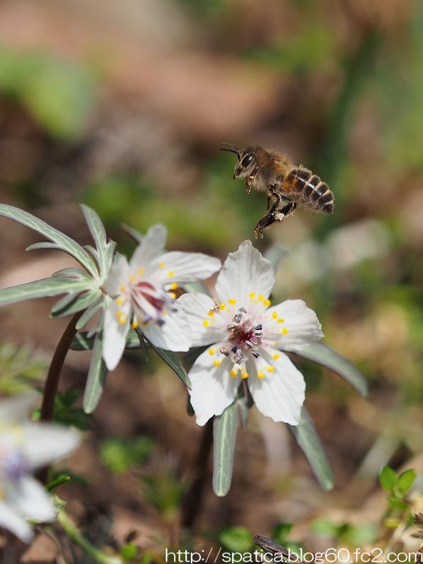 セツブンソウとニホンミツバチ