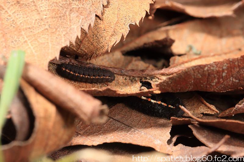 ウスバシロチョウ幼虫
