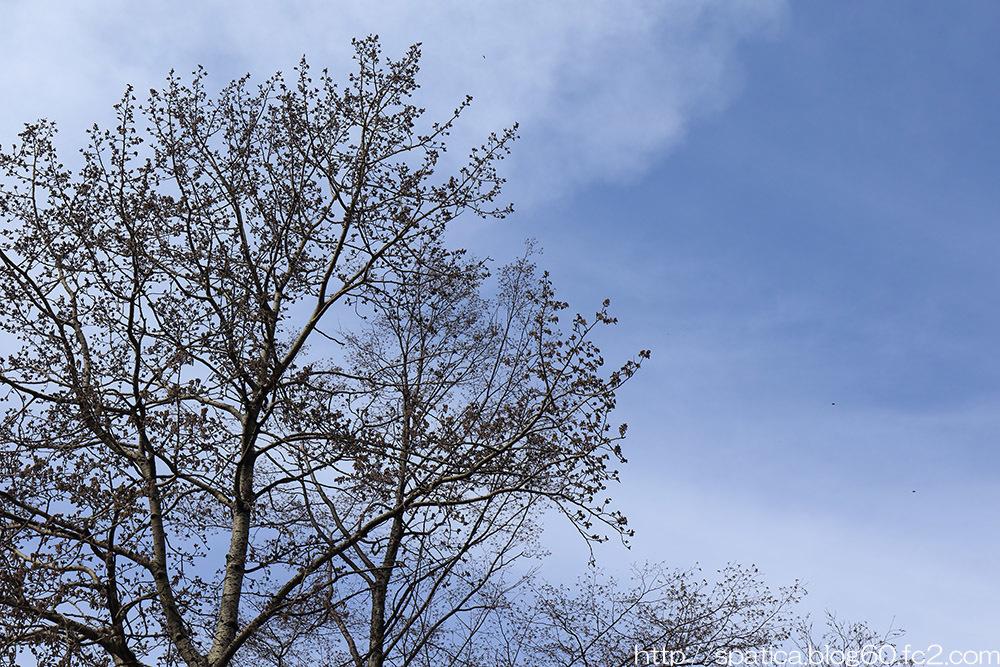 ヤマナラシ樹上を飛ぶクロフカバシャク