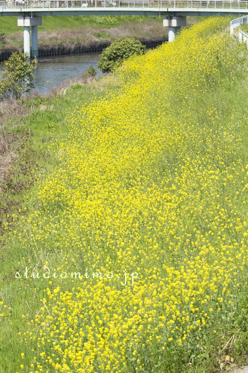 芝川の菜の花01