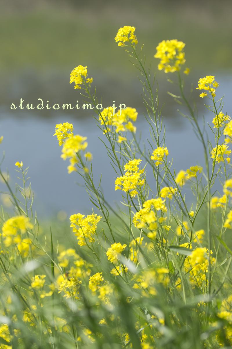 芝川の菜の花02