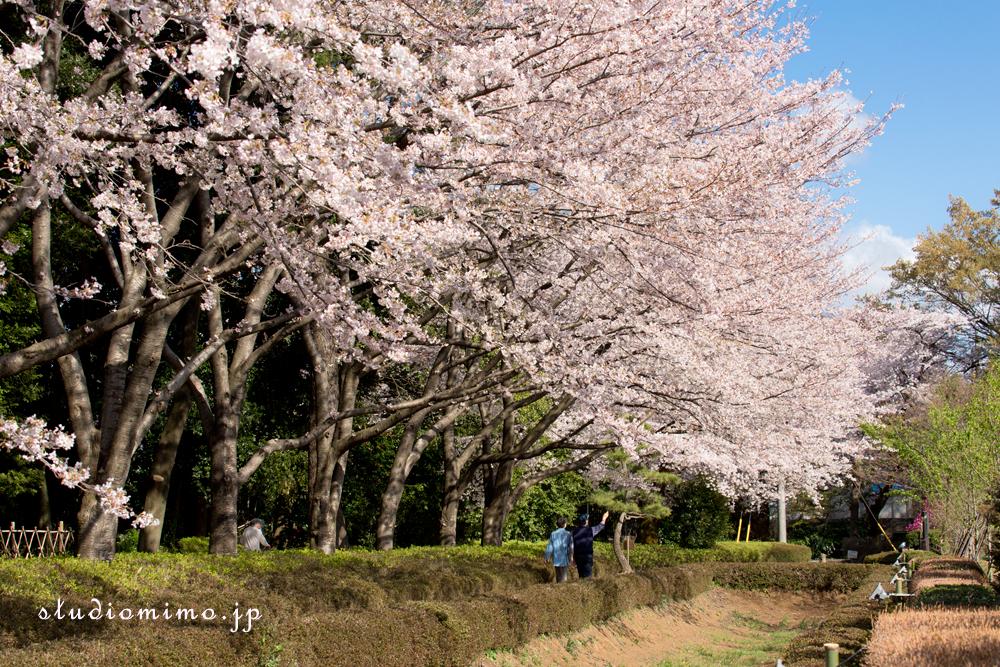 赤山陣屋の桜