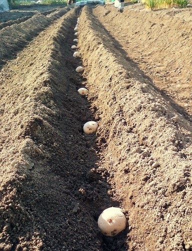 ジャガイモ植1