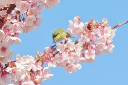 メジロと寒桜です