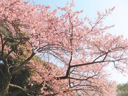 青空と寒桜