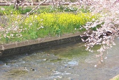菜の花と桜のコラボ