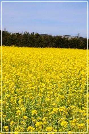 菜の花畑、発見☆