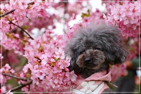 河津桜とナッたん★