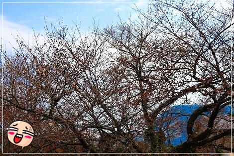 今年も桜、まだ咲かず・・・