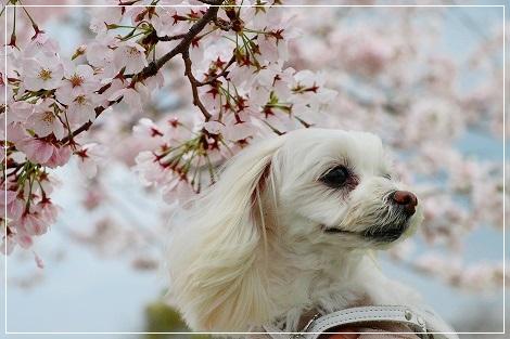 すももん@2017桜