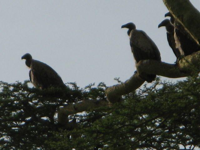 樹上の ハゲワシ