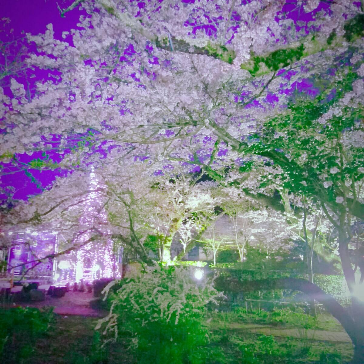 時之栖 桜2
