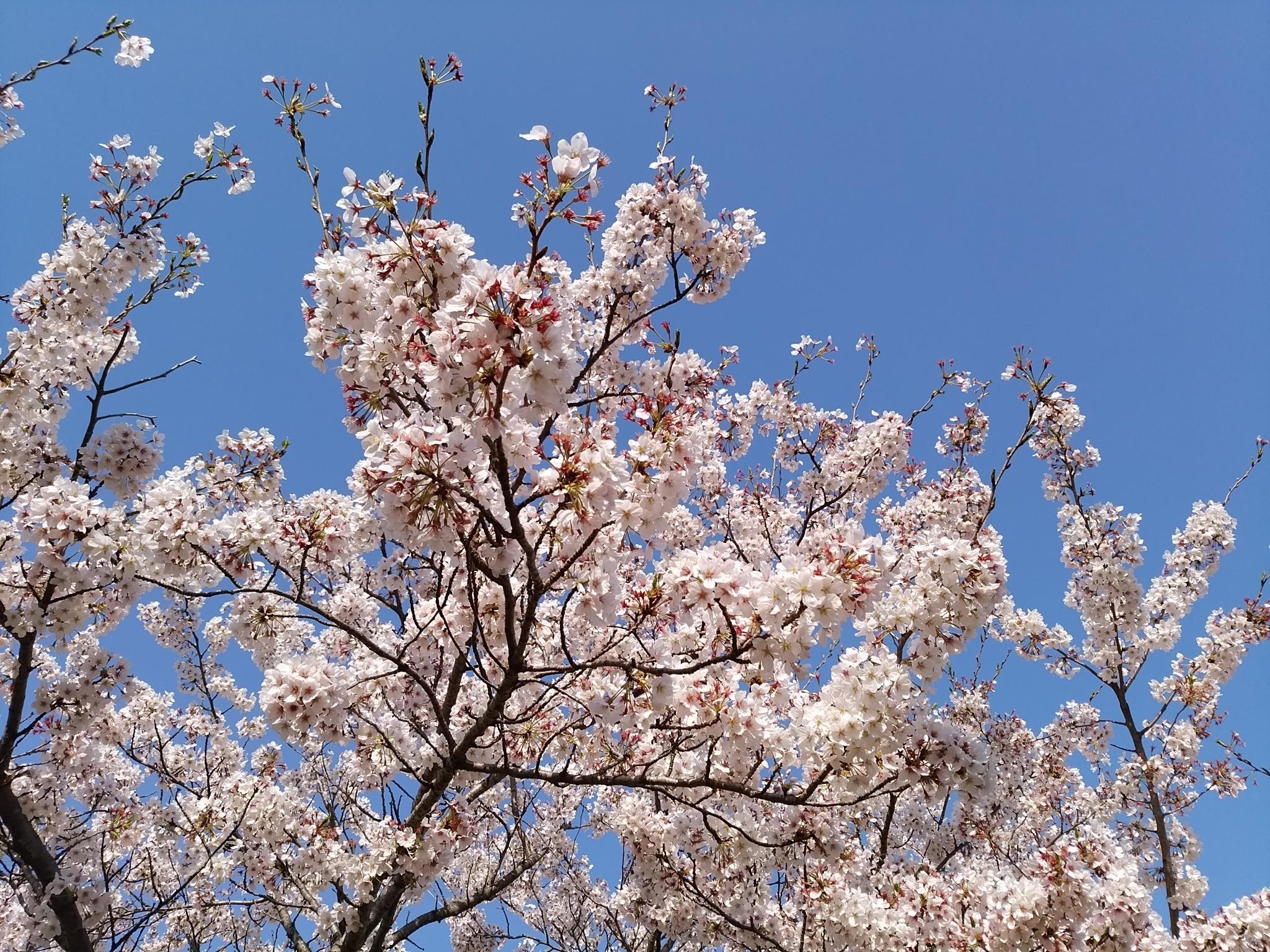 桜20170413