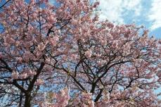 河津桜(その1)