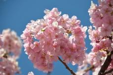 河津桜(その2)