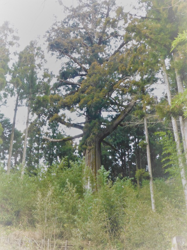 鷲原の大杉9