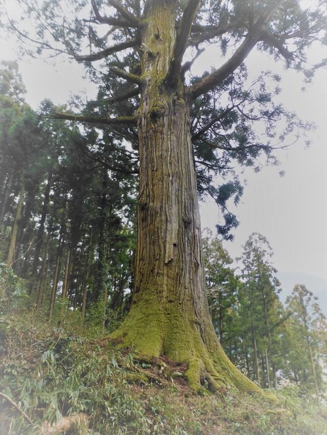 鷲原の大杉6