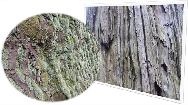 鷲原の大杉7