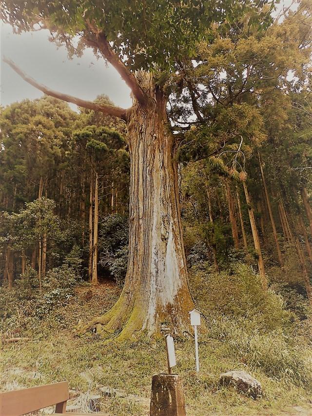 鷲原の大杉1